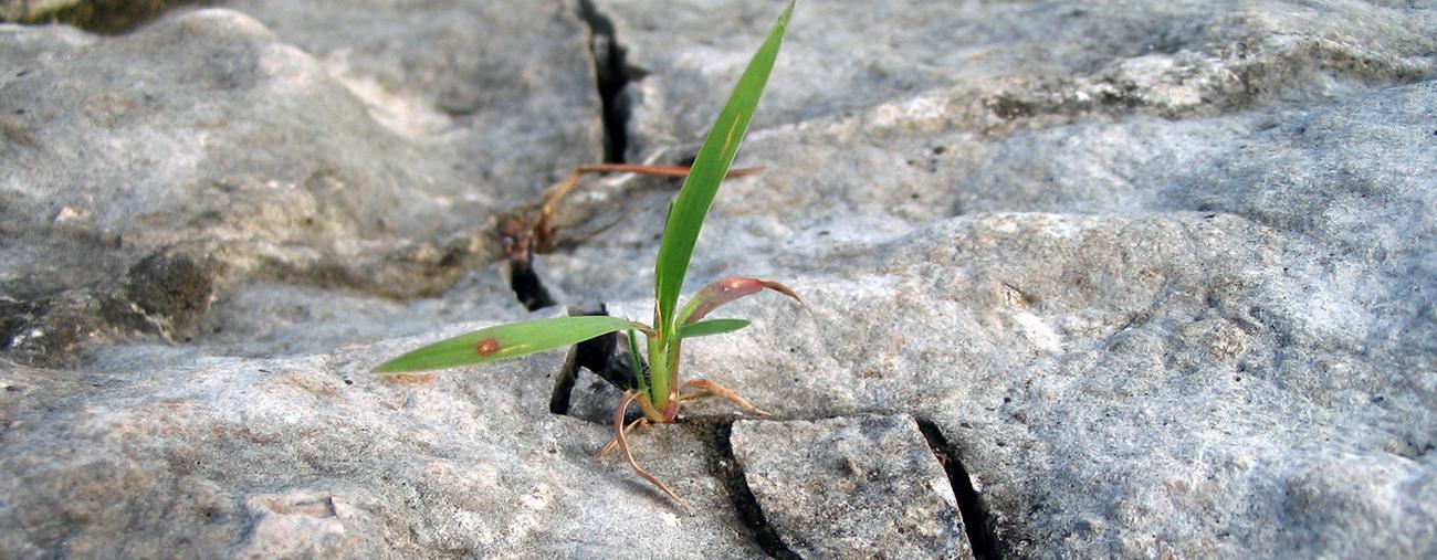 Pflanze sprengt Stein